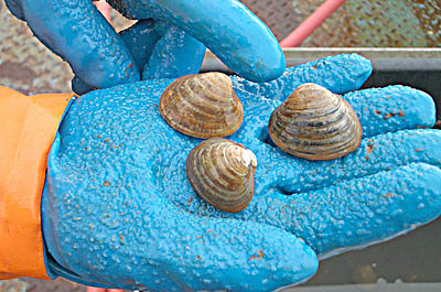These Serripes groenlandicus clams were collected in Storfjord at a site last visited by 19th-century Russian explorers. Photograph by Greg Henkes 08.
