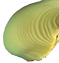 Seen here is the cross section of a small portion of aSerripes groenlandicus shell, near the umbo, or hinge. The lines indicate annual growth: dark lines for slow winter growth; light areas indicate fast summer growth. For an image showing the complete shell, click the image above.  Will Ambrose has discovered a correlation between growth and climate shifts. This image is a composite of 18 images produced by the College's new Imaging and Computing Center using a Nikon SMZ 1500 stereo microscope. Collected in 1926, the shell's actual length is 2.5 inches.