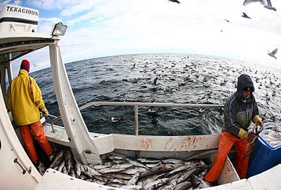 A fish-eye lens — no pun intended — captures the action aboard the Tenacious as Eric Hesse 86 (left) gaffs the fish coming through the de-hooker, then tosses them to crewmember Jeff Sampson (right) for processing. Meanwhile, a variety of sea birds, mostly shearwaters, catch a meal.
